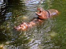 Hippos in Pattaya zoo Stock Photos