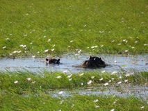 Hippos Peeking Through Waterlilies on Chobe River, Botswana Royalty Free Stock Photography