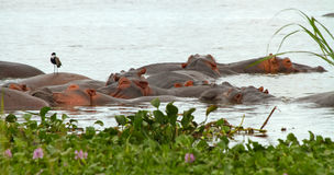 Hippos in a pile. A group of hippopotamusses sleeping together in the nile river among the water plants in the foreground.  A lone bird perches on top of one Royalty Free Stock Photography