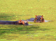Hippos in a pond Stock Photo