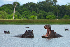 Hippos Rearing Stock Photo