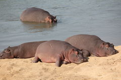 Hippos resting Royalty Free Stock Photo