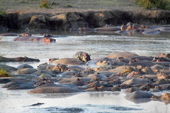 Hippos resting in a pool Stock Image