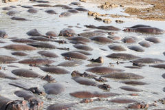 Hippos resting in a pool Stock Photography