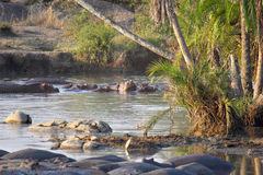 Hippos resting in a pool Royalty Free Stock Images