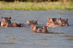 Hippos resting in the safety of a Naivasha lake Royalty Free Stock Photos