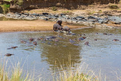 Hippos in a river Stock Photos