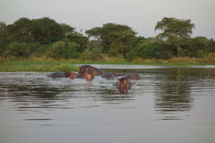 Hippos in the River Nile royalty free stock image