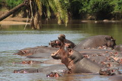Hippos. In the river, Serengeti National Park Stock Image