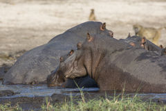 Hippos in the river walking towards mud pit Royalty Free Stock Image