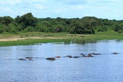 Hippos in the river with Warthogs grazing in background. A group of Hippopotamusses wading in the Nile river while a group of Warthogs graze on shore in the stock photography