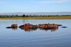 Hippos in a river Stock Image