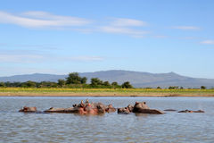 Hippos in a river Royalty Free Stock Photos
