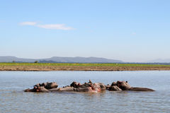 Hippos in a river Stock Photography