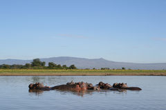 Hippos in a river Royalty Free Stock Photography