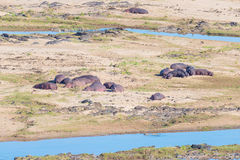 Hippos on riverbank in the Kruger National Park Royalty Free Stock Images