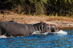 Hippos running into the water Stock Photos