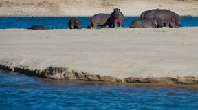 Hippos on a sandbank Stock Image