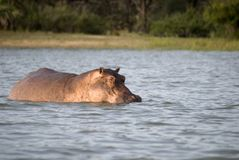 Hippos, Selous Game Reserve, Tanzania Stock Images