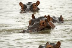 Hippos, Selous Game Reserve, Tanzania Stock Photography