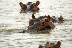 Hippos, Selous Game Reserve, Tanzania stock photography