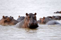 Hippos, Selous National Park, Tanzania. Hippos are abundant in lake manze and River Rufiji in Selous national park, tanzania Royalty Free Stock Photo