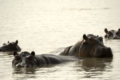 Hippos, Selous National Park, Tanzania Stock Images