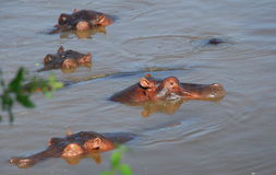 Hippos serengeti Royalty Free Stock Images