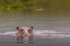 Hippos - Serengeti Wildlife Conservation Area, Safari, Tanzania, Royalty Free Stock Image
