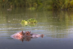 Hippos - Serengeti Wildlife Conservation Area, Safari, Tanzania, Stock Photo