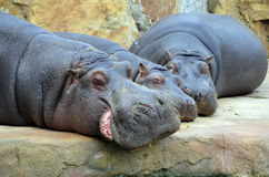 Hippos sleep photo Royalty Free Stock Photography