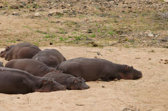 Hippos sleeping Royalty Free Stock Photos