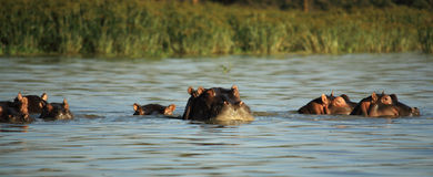 Hippos surfacing Stock Images