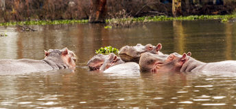 Hippos swimming Stock Photos