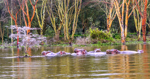 Hippos swimming Royalty Free Stock Images