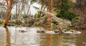 Hippos swimming Royalty Free Stock Photo