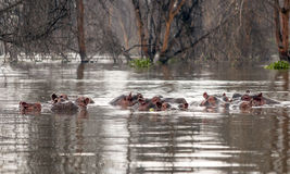 Hippos swimming Royalty Free Stock Photos