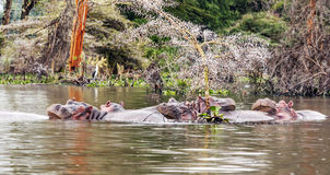 Hippos swimming Stock Photo