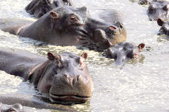 Hippos swimming in a pool Stock Photo