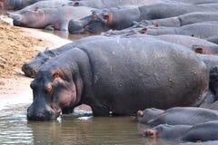 Hippos in Tanzania Stock Afbeeldingen