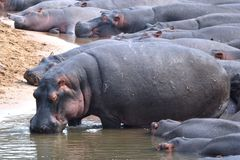 Hippos in Tanzania Stock Images