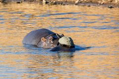 Hippos and Terrapin. Hippos and a Terrapin in a watering hole in Southern African savanna stock photos
