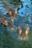 Hippos van de boom in water Stock Foto