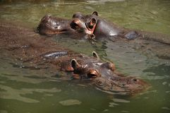 Hippos in the water. Safari Royalty Free Stock Images