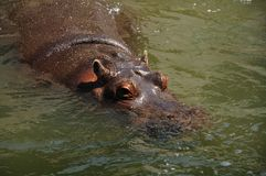 Hippos in the water Stock Images