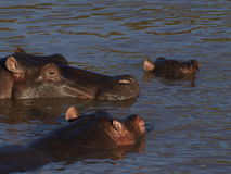 Hippos in water stock afbeeldingen