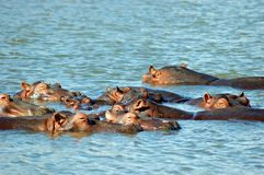 Hippos in the water. Pool of Hippos (hippopotamus) basking in the afternoon sun at St Lucia estuary in South Africa Royalty Free Stock Image