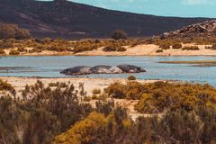 Hippos in a water hole royalty free stock photography