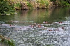 Hippos in the water, Kenya Mzima Springs Stock Image