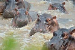 Hippos on water. On savana on Tanzania stock photos